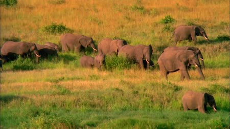 the Herd of Elephants Walking on the Savannah. About Ten Elephants go Through the Tall Grass . Dostupné videozáznamy