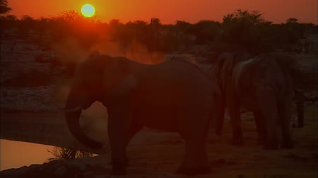 tourist silhouette : Two Elephants at Sunset. Evening Savannah