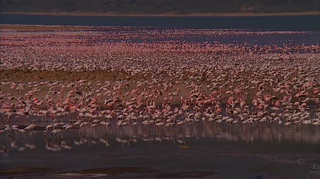 Million Pink Flamingos Walk on Water.