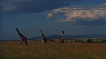 Tre Giraffe Walk on the Savannah.