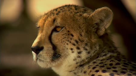 cheeta : Luipaard close-up. Liggend in de schaduw.