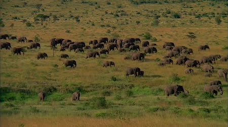 Herd of Elephants Walking in Savanna
