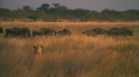 Lion Watching a Herd of Wildebeest Antelop in Tall Grass Dostupné videozáznamy