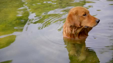 лабрадор : Golden Retriever standing in the river