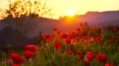 луг : sunset timelapse poppy flowers