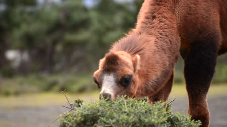 camelo : camel eating grass close up