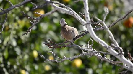 collared : Collared Dove (Streptopelia decaocto)