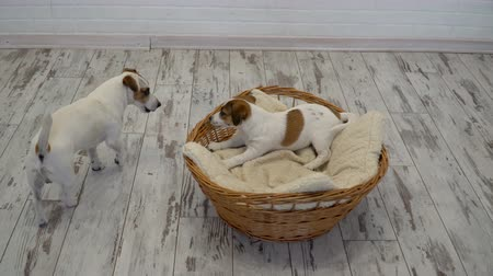 bully : Two dogs playing at home Stock Footage