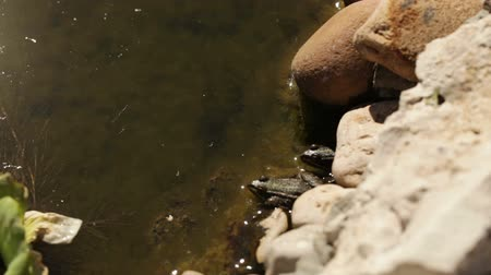 Two frogs jumping into water from stone Dostupné videozáznamy