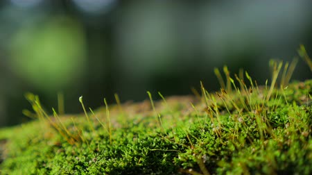 fungo : Fresh Green moss covered the stones in the forrest. Vídeos