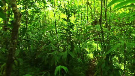 caminhada : Steadicam Shot Thu Lush Forest (Slow Motion) Vídeos