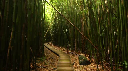 bamboo forest : Steadicam Shot Thru Bamboo Forest (HD)  Stock Footage
