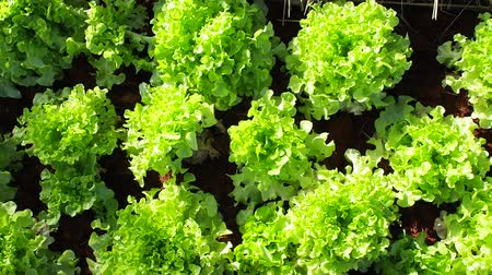saŁata : Green salad Planted on the plot.