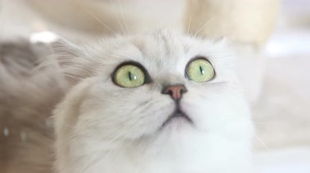 kotě : PERSIAN CAT (Face Closeup)