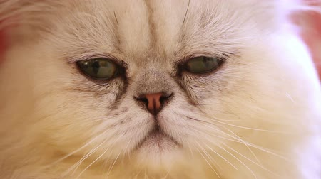 gato : PERSIAN CAT (Face Closeup)
