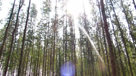 state park : The many pine trees as a cash crop