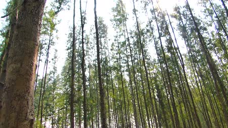 pinho : The many pine trees as a cash crop