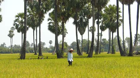 brown rice : The farmers living Thailand Stock Footage