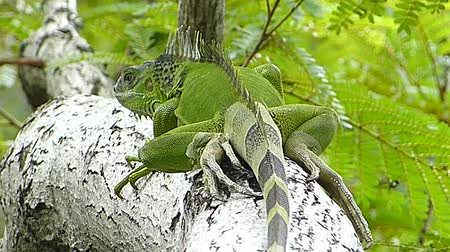 black iguana : The Iguana sleeping in the jungle