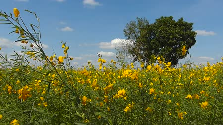 sunflower seed : The yellow flowers field Stock Footage