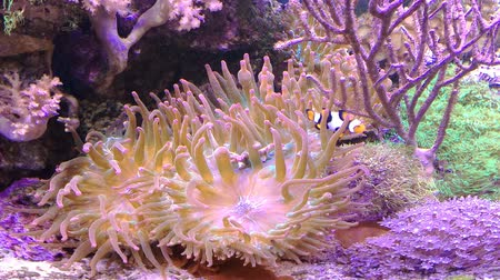 chapadlo : Clownfish and Actinia or Sea Flower. Reef tank filled with water for keeping live underwater animals.Gorgonaria, Clavularia. Marine aquarium full of tropical fishes and plants.