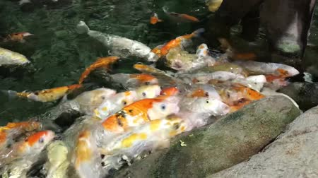 néző : Koi crowding together competing for food. Fancy koi fish in pool, swimming for food. Beautiful carp fishes of different sizes swim in transparent water. Colorful aquarium tank.
