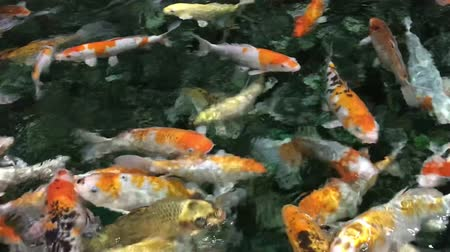 seaquarium : Koi crowding together competing for food. Fancy koi fish in pool, swimming for food. Beautiful carp fishes of different sizes swim in transparent water. Colorful aquarium tank.