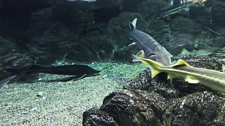 seaquarium : The sturgeons float under the water in the marin aquarium. Different types of animals and plants. Stock Footage