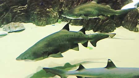 shark : Huge shark, surrounded by lots of sharks and fishes. Animals and plants.