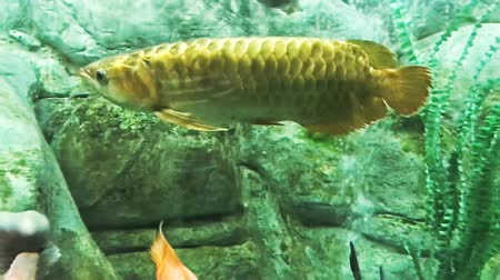 seaquarium : Arowana swimming in fresh water aquarium, Close-up shot. Golden asian arowana surrounded by different fish and plants. Stock Footage