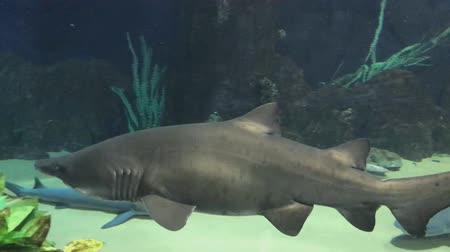 saltwater : Huge shark, surrounded by lots of sharks and fishes. Animals and plants.
