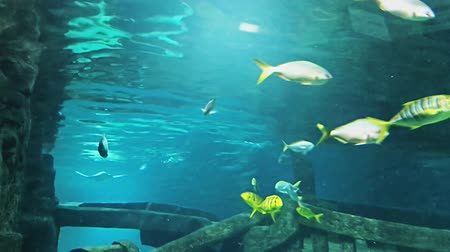 щупальце : Fishes and plants Bat ray floating. Reef tank filled with water for keeping live underwater animals. Стоковые видеозаписи
