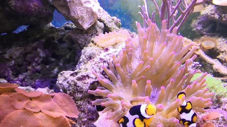anemon : Reef tank filled with water for keeping live underwater animals. Clownfish and Actinia or Sea Flower.