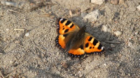 butterflies in the stomach : Small Tortoiseshell (Aglais urticae) on a sandy clearing in the forest