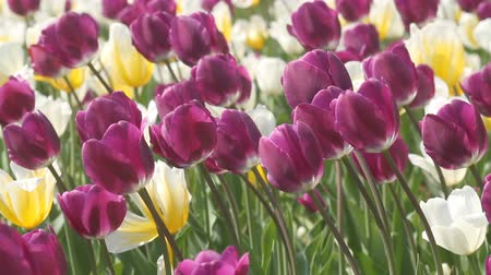 lente : Spring beauty van de tulp Stockvideo