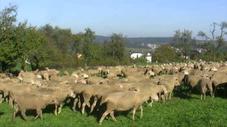 koyun : Grazing flock of Sheeps on a green meadow
