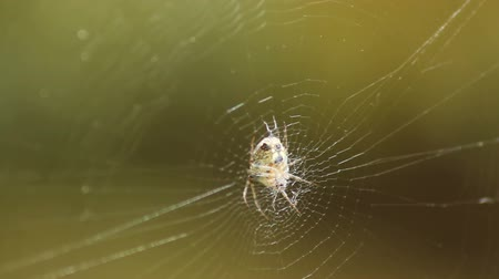 паук : Spider waiting on the web in a windy day Стоковые видеозаписи