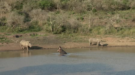 hippos : Hippopotamus shows aggression towards two white rhino by opening its mouth wide open. Stock Footage