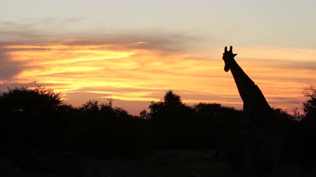 жираф : The silhouette of a giraffe and trees against beautiful orange tinged clouds at sunset.