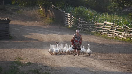 plowman : Poultry duck out of town in the village. Rural life of the peasants. home hozyaytsvo, poultry, feeding poultry. A flock of ducks goes home Stock Footage