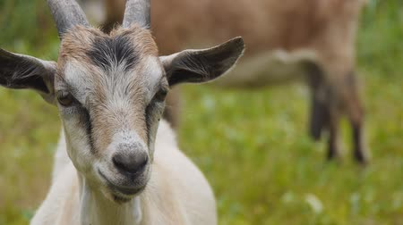 billy goat : The head of a young goat close-up. Goat on pasture. Farm, raising goats