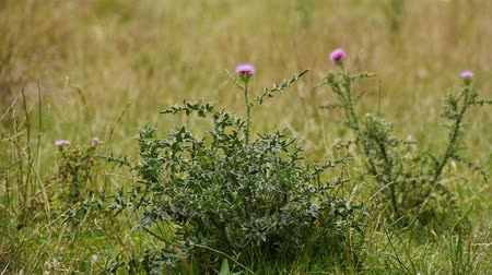 silybum : Beautiful thistle growing in the field. Thorny wild, wild flower. Blooming thistle flower.