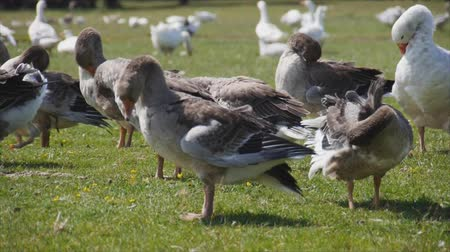 утки : geese clean wings. In rural areas, grazing geese. Life Pets in the village, on the farm, on the ranch. Стоковые видеозаписи