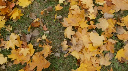 biloba : fallen yellow leaves in autumn on the grass