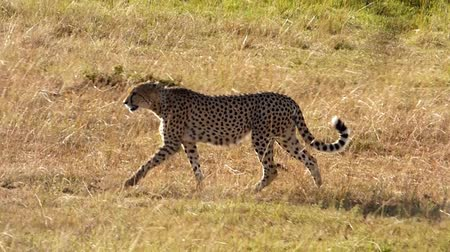 gepard : cheetah walkin in the savannah Wideo