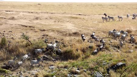 göç : wildebeest and zebras crossing the river mara in kenya