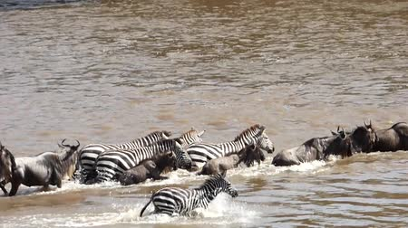 Серенгети : wildebeest and zebras crossing the river mara in kenya