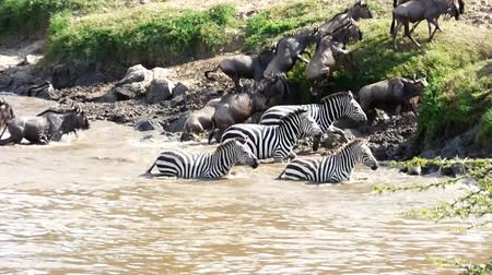 câmara : wildebeest and zebras crossing the river mara in kenya