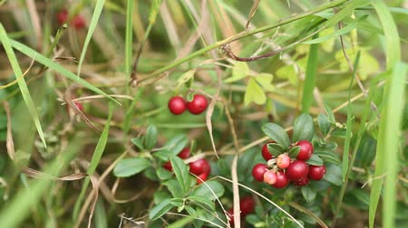 клюква : Cowberry. Bushes of ripe forest berries Стоковые видеозаписи