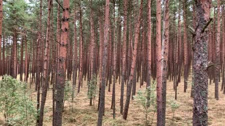 Dancing forest in National park Curonian spit in Kaliningrad, Russia. Curved conifers in the forest. UNESCO world Heritage Site